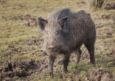Wild boar (sus scrufa)