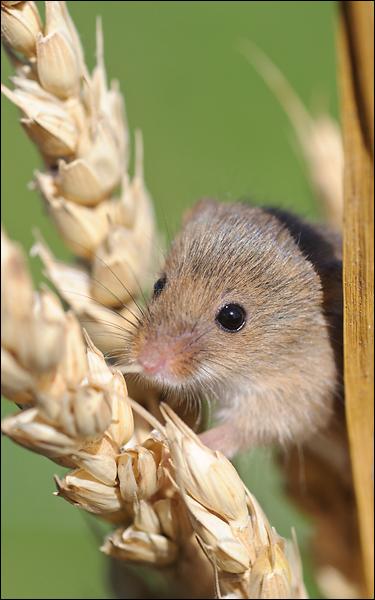 Harvest Mouse - Charlotta Fredriksson