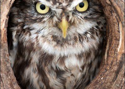 Little Owl - Charlotta Fredriksson