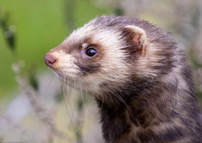 Polecat - Robert Lawrence