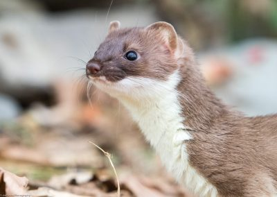 Stoat - Robert Lawrence