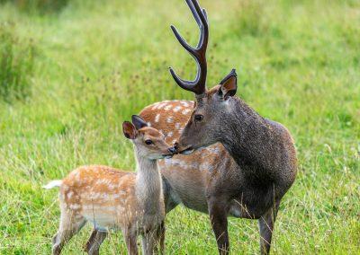 Sika Deer
