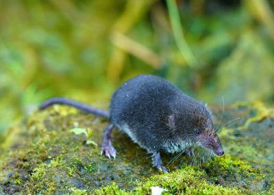 Water Shrew